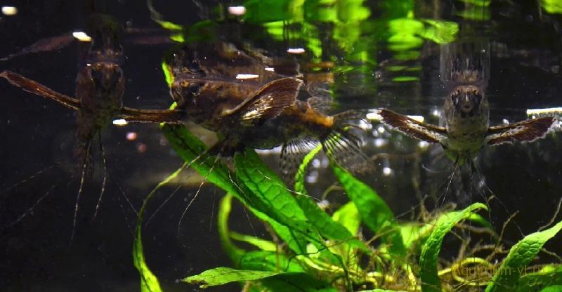 Кормление Пантодона в аквариуме