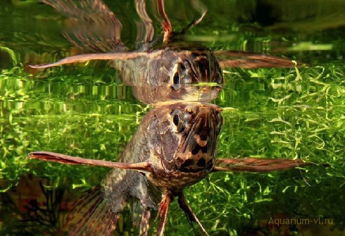 Рыба-бабочка в аквариуме
