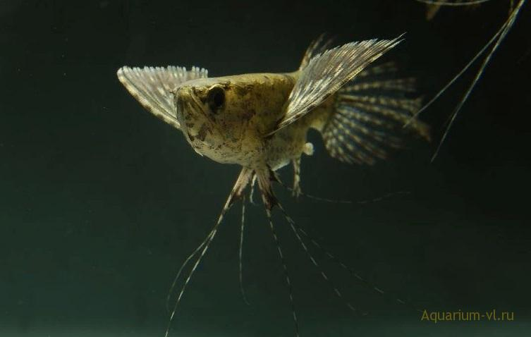 Поведение Пантодон в аквариуме