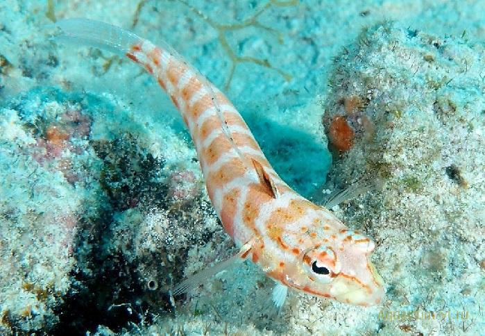 Песочник краснопятнистый морская рыбка
