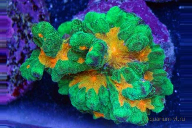 Содержание кораллов Пектиниия