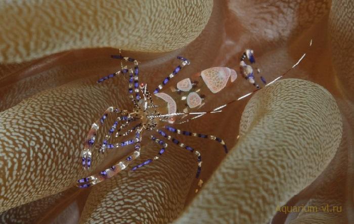Аквариум с креветкой-клоуном Periclimenes yucatanicus