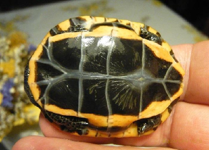 Содержание черепахи Platemys platycephala