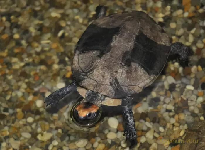 Кормление черепахи Красноголовая плоская черепаха