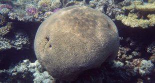 Морской коралл Платигира