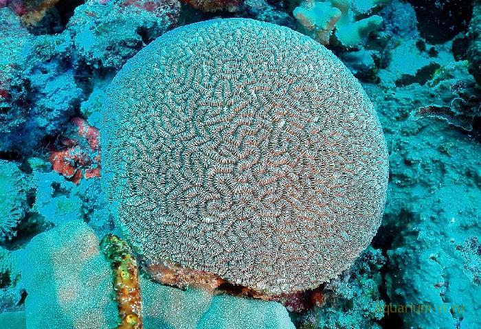 Коралл-мозговик