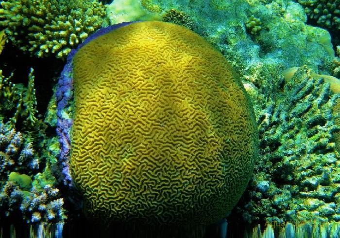 Платигира морской коралл