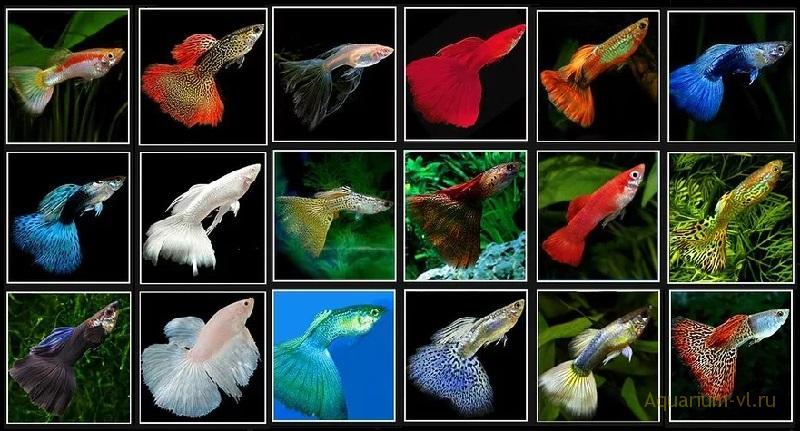 Рыбки гуппи в аквариуме