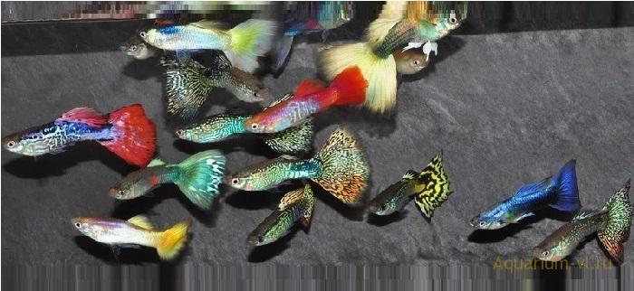 Гуппи лучшая рыбка для аквариума