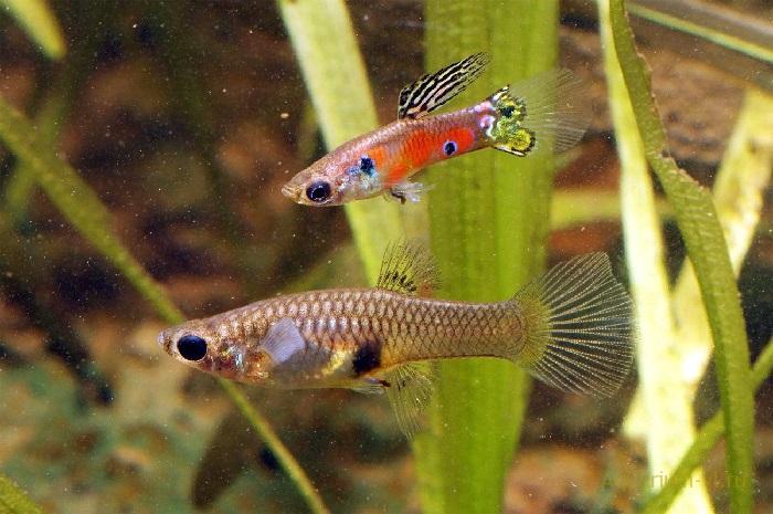 Гуппи рыбки размножение