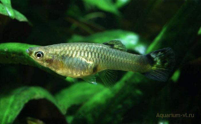 Аквариумная рыбка гуппи содержание