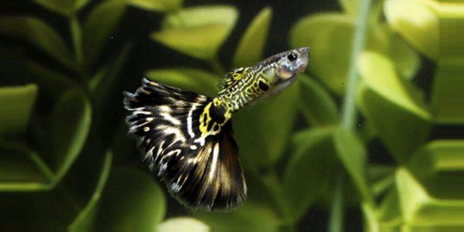 Рыбка Гуппи