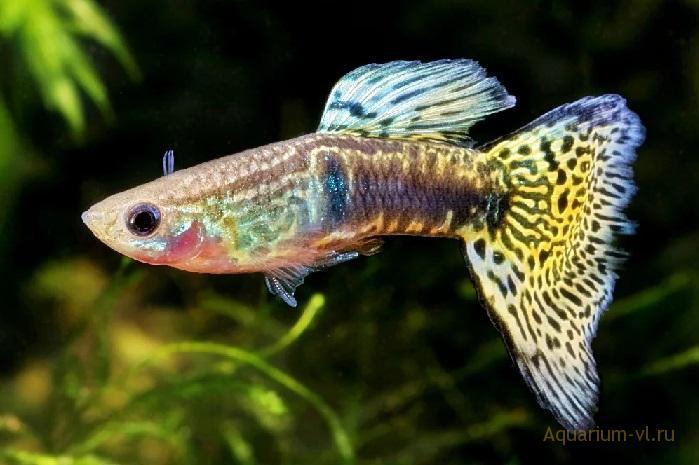 История рыбки Гуппи