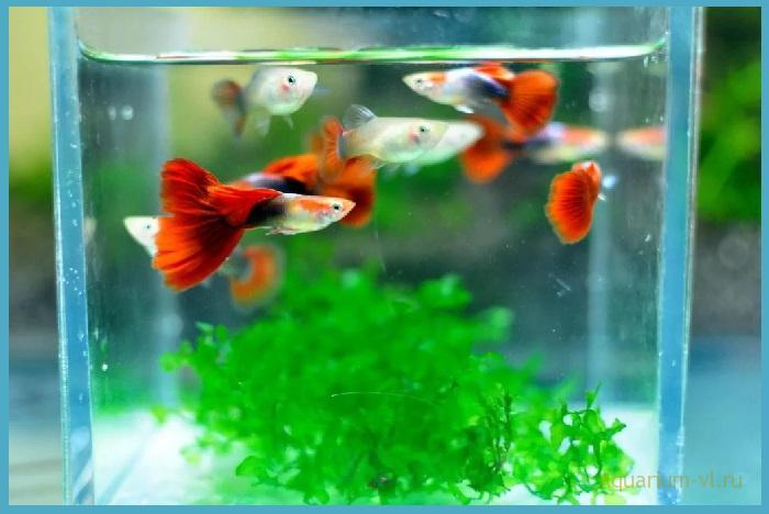 Нерестовый аквариум для гуппи