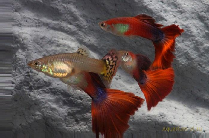 Рыбки Гаппи