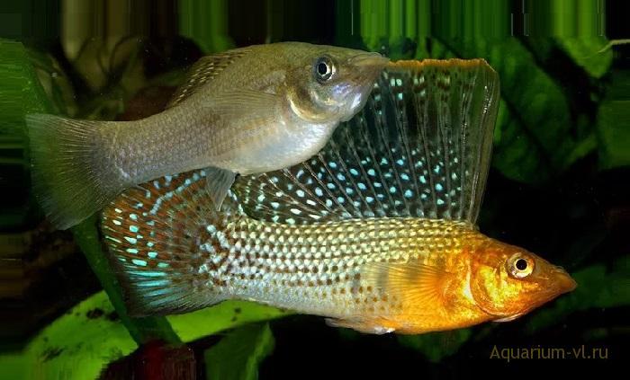 Моллинезия парусная аквариумная рыбка