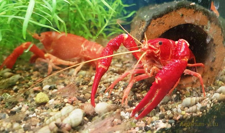 Procambarus clarkii (красный рак)