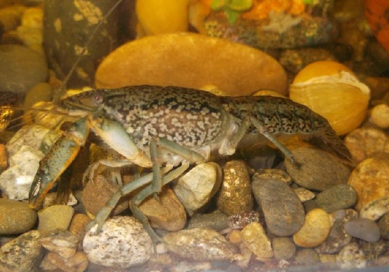 Условия содержания Procambarus cubensis