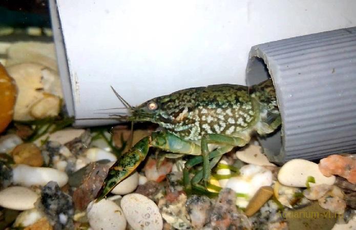 Поведение в аквариуме, Мраморный рак