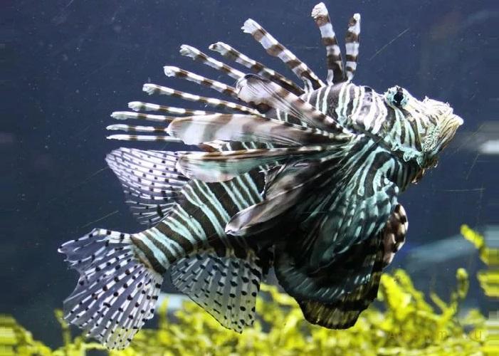 Крылатка-зебра чернополосая в аквариуме