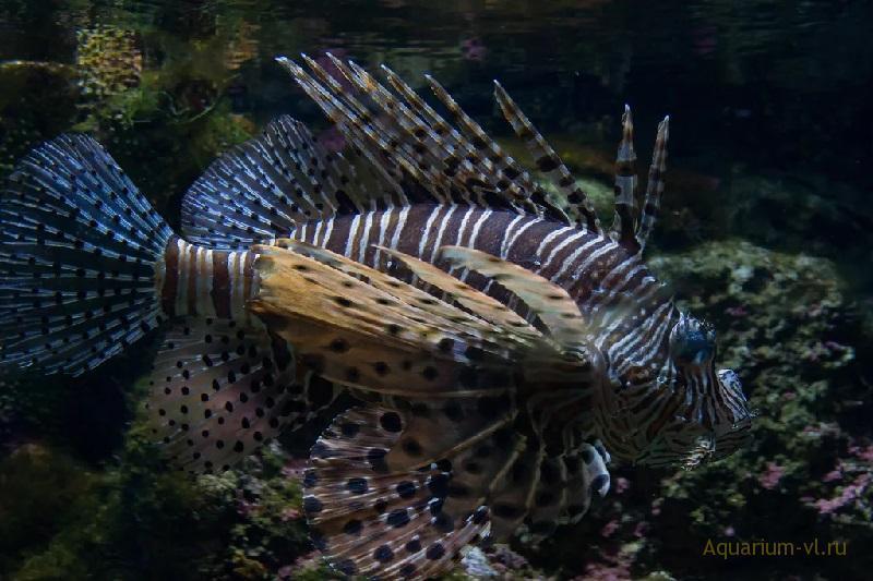 Крылатка-зебра чернополосая — одна из самых неприхотливых и выносливых рыб