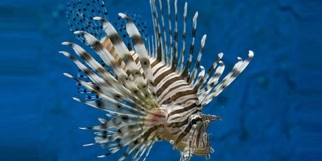 Крылатка-зебра чернополосая