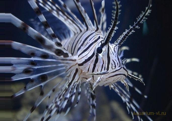 Крылатка-зебра чернополосая поведение в аквариуме