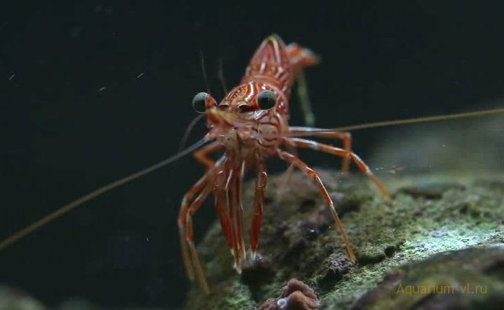 Rhynchocinetes durbanensis морская креветка