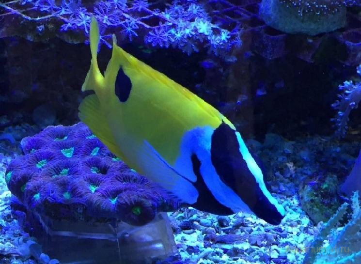 Морская рыбка Лисица чернопятнистая