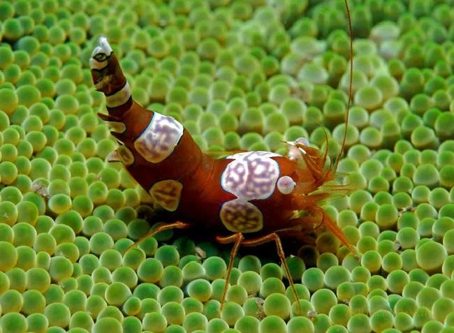 Анемоновая креветка-клоун