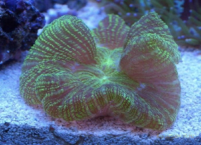Трахифиллия коралл