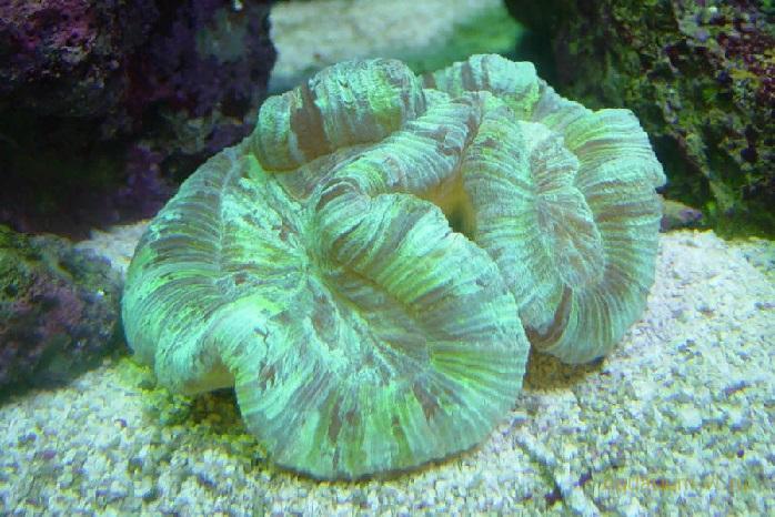 Трахифиллия морские кораллы в аквариуме