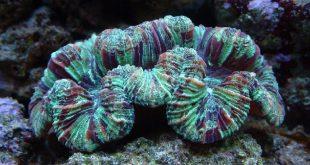 Трахифиллия морской коралл