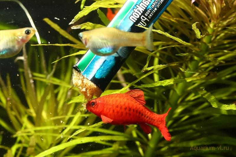 Кормление рыбок перед нерестом