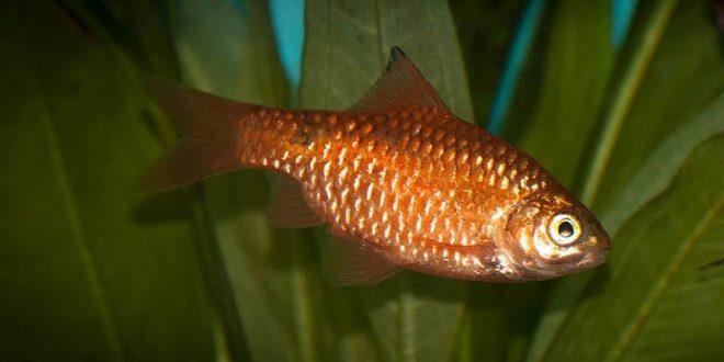 Barbus conchonius