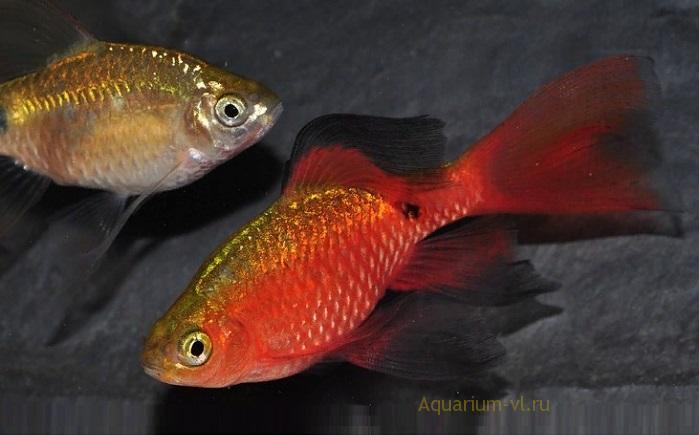 Аквариумные рыбки Барбусы огненные