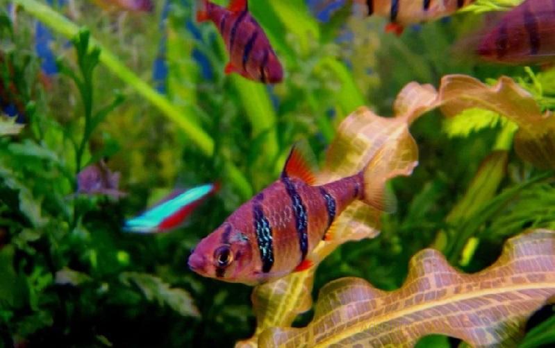 Поведение в аквариуме, Барбус пятиполосый