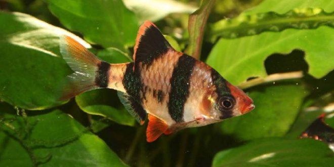 Барбус суматранский (четырёхполосый)