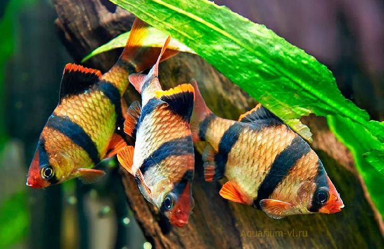 Барбус суматранский (тигровый)