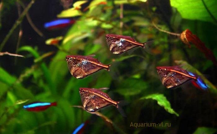 Карнегиелла мраморная в общем аквариуме