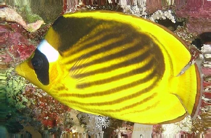 Условия содержания рыб-бабочек в аквариуме