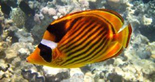 Опоясанная рыба-бабочка