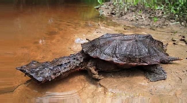 Матамата «Бахромчатая» черепаха