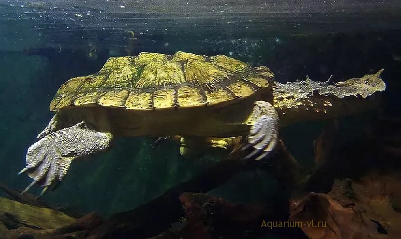 Chelus fimbriastus черепаха
