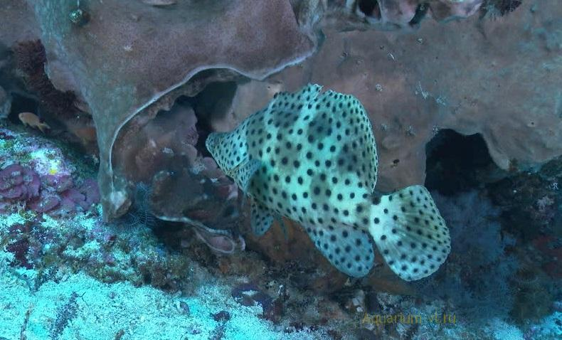 Cromileptes altivelis / Леопардовый групер