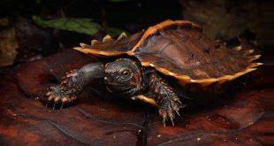 Колючая черепаха