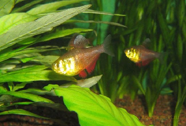 Пламенная тетра – спокойная, дружелюбная рыбка