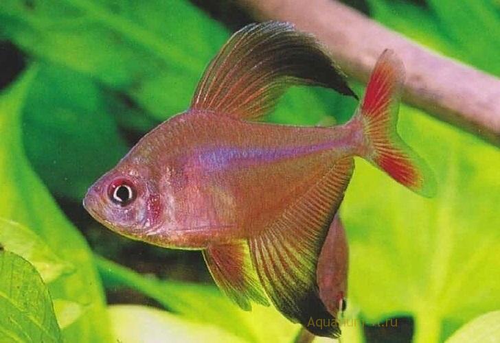 Аквариумная рыбка Хифессобрикон Робертса