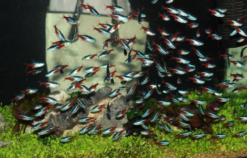Аквариумная рыбка Неон голубой