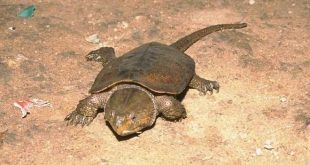 Черепаха Platysternon megacephalum